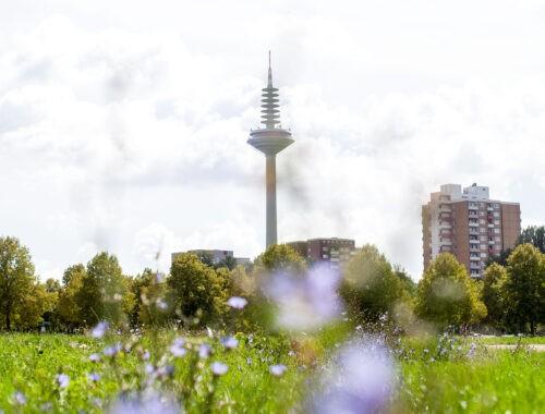 Ginnheimer Spargel, unscharfe Blumen um Vordergrund